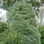 Prunus lusitanica Variegata (2)