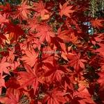 Acer palmatum (3)
