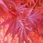 Acer palmatum Aratama (1)