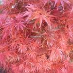 Acer palmatum Aratama (2)