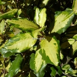 Elaeagnus ebbingei Gold Splash