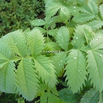 Melianthus major (2)