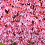 Parthenocissus tricuspidata Robusta (1)