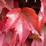 Parthenocissus tricuspidata Robusta (2)