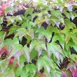 Parthenocissus tricuspidata Robusta (3)