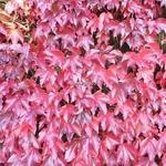 Parthenocissus tricuspidata Robusta (4)