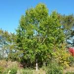 Quercus acutissima (3)