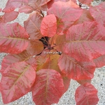 Cotinus Old Fashionned (1)