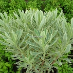 Euphorbia characias Burrows Silver