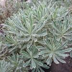 Euphorbia characias Burrows Silver (2)