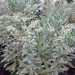 Euphorbia characias Burrows Silver (1)