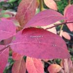 Itea virginica Beppu (2)