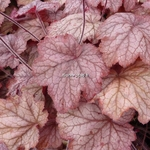 Heuchera Georgia Peach (4)