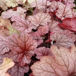 Heuchera Georgia Peach (3)