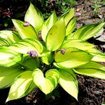 Hosta June Fever (3)