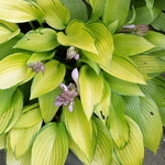 Hosta June Fever (2)