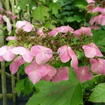Hydrangea quercifolia Back Porch (2)