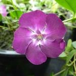 Vinca minor Atropurpurea (3)