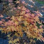 Acer palmatum Sango Kaku (1)