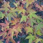 Acer palmatum Sango Kaku (2)