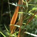 Fargesia scabrida Asian Wonder (2)