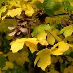 Acer campestre (1)