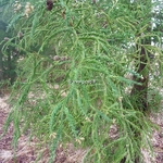 Cryptomeria japonica Spiralis (2)
