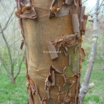 Acer griseum (1)