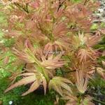 Acer palmatum Wilson Pink Dwarf (2)