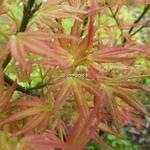 Acer palmatum Wilson Pink Dwarf (4)