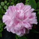 Rosa Jacques Cartier (1)