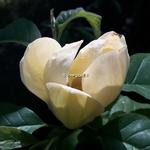 Magnolia Yellow Bird (1)