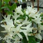 Rhododendron Fragrant Star (azalée caduque) (1)