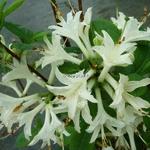 Rhododendron Fragrant Star (azalée caduque) (2)