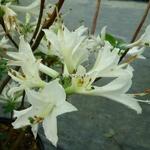 Rhododendron Fragrant Star (azalée caduque) (3)