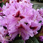 Rhododendron Kabarett (1)