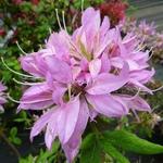 Rhododendron macrosepalum Koromo Shikibu