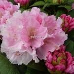 Rhododendron yakushimanum Doc (1)