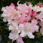 Rhododendron yakushimanum Dreamland (1)