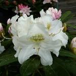 Rhododendron yakushimanum Porzellan (1)