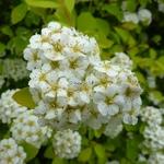Spiraea japonica Aurea (1)