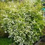 Spiraea japonica Aurea (18)