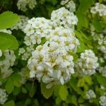 Spiraea japonica Aurea (19)