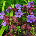Geranium pratense Purple Haze