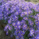 Aster Blue Radiance
