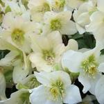 Heuchera orientalis Blanc simple (2)