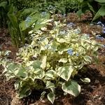 Brunnera macrophylla Hadspen Cream