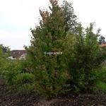 Cercidiphyllum japonicum (1)