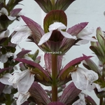 Acanthus mollis (2)