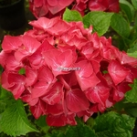 Hydrangea macrophylla Hot Red